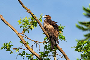 Pygmy eagle (Hieraaetus weiskei) perched on branch. Papua New Guinea.  -  Konrad Wothe
