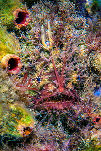 RF - Tassled anglerfish (Rhycherus filamentosus) is almost perfectly camouflaged as it hides amongst marine life, waiting to ambush prey attracted to worm life lure. Victoria, Australia. (This image m...  -  Alex Mustard