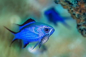 Blue chromis (Chromis cyanea) damselfish with a large parasitic isopod attached below its eye. There is debate about whether these isopods should be considered parasites or merely hitch-hikers. Jardin...  -  Alex Mustard