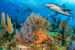 RF - Caribbean reef sharks (Carcharhinus perezi) swim over a coral reef with Common sea fans (Gorgonia ventalina) and Sea plumes (Pseudopterogorgia sp). Jardines de la Reina, Gardens of the Queen Nati...  -  Alex Mustard