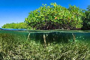 Split level photo of Red mangrove trees (Rhizophora mangle) above a bed of Turtlegrass (Thalassia testudinum). Jardines de la Reina, Gardens of the Queen National Park, Cuba. Caribbean Sea.  -  Alex Mustard