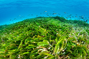 Seagrass meadow (Thalassodendron cilliatum) with young Paddletail snappers (Lutjanus gibbus). Seagrass is threatened in the Maldives, where many resorts actively pluck the plants from the water to cre...  -  Alex Mustard