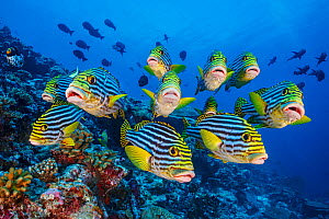 School of Oriental sweetlips (Plectorhinchus vittatus) gather tightly together as they rest during the day, with a Clown triggerfish (Balistoides conspicillum) and Midnight snappers (Macolor macularis...  -  Alex Mustard