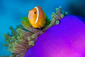 RF - Portrait of Maldives anemonefish (Amphiprion nigripes) with its host magnificent sea anemone (Heteractis magnifica) on a coral reef. Laamu Atoll, Maldives. Indian Ocean (This image may be license...  -  Alex Mustard