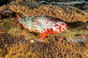 Redlip parrotfish (Scarus rubroviolaceus) sleeps in a coral reef at night. Parrotfish sometimes make mucus cocoons to enclose their body while they sleep, but not always, as here. Misool, Raja Ampat,...  -  Alex Mustard