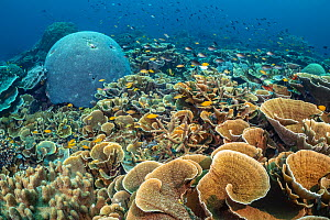 RF - Rich coral garden with hard corals (Montipora sp), Brain coral (Goniastrea sp, Lobophytum sp.) and lots of Lemon damsel (Pomacentrus moluccensis) and Ternate chromis fish (Chromis ternatenis). Ru...  -  Alex Mustard