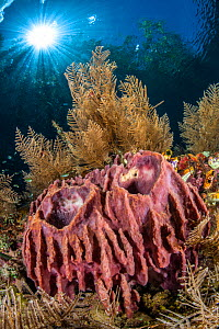Barrel sponges (Xestospongia testudinaria) grow in shallow water, surrounded by hydroids (Aglaophenia cupressina), in shallow water beneath trees and sun burst. The Passage betweeb Waigeo Island and G...  -  Alex Mustard