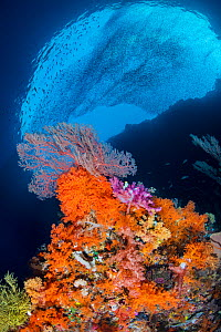 Reef scene with an orange soft corals (Scleronephthya sp.), pink and red soft corals (Dendronephthya sp.) and red sea fan (Melithaea sp.) with schooling silversides above. Pelee Island, Misool, Raja A...  -  Alex Mustard