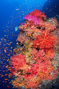 Colourful coral reef wall, with orange scalefin anthias (Pseudanthias squamipinnis) swarming over red, orange and pink soft corals (Dendronephthya sp.) in a current, with a lone bullethead parrotfish...  -  Alex Mustard