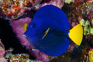 Portrait of a Yellowtail tang (Zebrasoma xanthurum) on a coral reef. This species is endemic to the Red Sea. Abu Dabab Reef, Marsa Alam, Egypt. Red Sea.  -  Alex Mustard