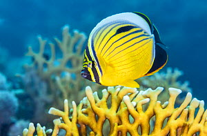 Exquiste butterflyfish (Chaetodon austriacus) swims over fire coral (Millepora sp.) on a coral reef. Marsa El Shouna, Marsa Alam, Egypt. Red Sea.  -  Alex Mustard