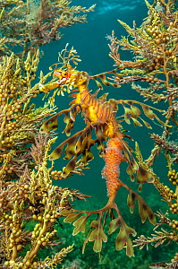 Leafy seadragon (Phycodurus eques) demonstrates the effectiveness of its camouflage as it shelters amongst seaweeds. This individual is a male carrying eggs. Wool Bay Jetty, Edithburgh, Yorke Peninsul...  -  Alex Mustard