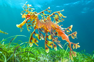 Leafy seadragon (Phycodurus eques) male carrying eggs, swims over seagrass meadow. Wool Bay, Edithburgh, South Australia. Gulf of St Vincent.  -  Alex Mustard