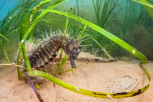 Spiny seahorse (Hippocampus guttulatus) adult female in a meadow of (Zostera marina) seagrass. Studland Bay, Dorset, England, United Kingdom. English Channel, North East Atlantic Ocean.  -  Alex Mustard