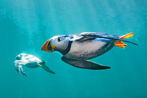 Puffins (Fratercula arctica) swimming underwater. Puffins spend most of their lives at sea and are excellent underwater swimmers, which is how they catch small fish, their main food. , Farne Islands,...  -  Alex Mustard