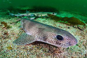 Two lesser spotted catsharks (Scyliorhinus canicula) resting on the seabed in a channel between two islands. Shetland Islands, Scotland, British Isles. North East Atlantic Ocean.  -  Alex Mustard