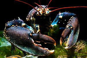 RF - European lobster (Homarus gammarus) on the Wreck of the Rosalie. North Norfolk, United Kingdom. North Sea. (This image may be licensed either as rights managed or royalty free.)  -  Alex Mustard