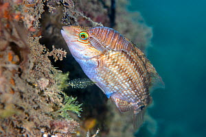 Corkwing wrasse (Symphodus melops) female carrying two large cymothoid isopod parasites (a large female and smaller male).. Swanage, Dorset, England, United Kingdom. English Channel. North East Atlant...  -  Alex Mustard