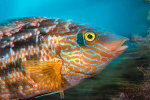 Long exposure of a male Corkwing wrasse (Symphodus melops) by its nest. Swanage, Dorset, England, United Kingdom. English Channel. North East Atlantic  -  Alex Mustard