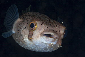 Long-spine porcupinefish (Diodon holocanthus), Xkalac Reefs National Park, Caribbean region, Mexico, May  -  Claudio Contreras