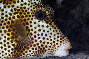 Spotted trunkfish (Lactophrys bicaudalis), Xkalac Reefs National Park, Caribbean region, Mexico, May  -  Claudio Contreras