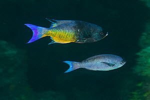 Creole Wrasse (Clepticus parrae) male and female, Xkalac Reefs National Park, Caribbean region, Mexico, May  -  Claudio Contreras