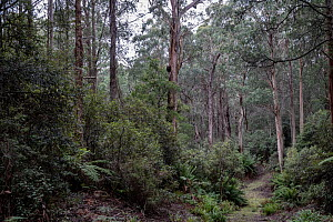 Forest that was due to be logged until conservation groups found a high density of Greater gliders (Petauroides volans) there, and government put a halt to the logging (for now). Trees in this forest...  -  Doug Gimesy