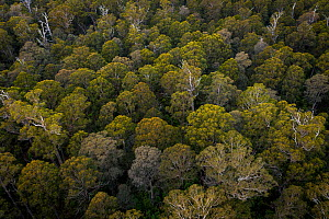 Canopy view of forest that was due to be logged until conservation groups found a high density of Greater gliders (Petauroides volans) there, and government put a halt to the logging (for now). Trees...  -  Doug Gimesy