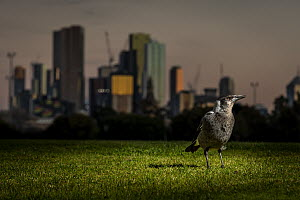 Australian magpie (Cracticus tibicen), on the ground, with the Melbourne city skyline at sunset in the background. Princess Park, Carlton, Victoria, Australia. July.  -  Doug Gimesy