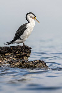 Pied cormorant (Phalacrocorax varius) standing on intertidal rocks, sea in background. Port Philip Bay shoreline, Sandringham, Victoria, Australia.  -  Doug Gimesy