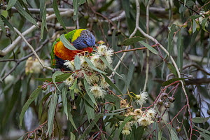 Rainbow lorikeet (Trichoglossus moluccanus) feeding from the flower of a eucalyptus tree.? Gardenvale, Victoria, Australia.?May  -  Doug Gimesy