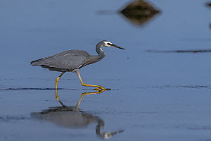 Portrait of a White-faced heron (Egretta novaehollandiae) walking in sea water, Ricketts Point, Beaumaris, Victoria, Australia?.  -  Doug Gimesy