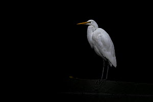 Eastern Great egret (Ardea modesta) stands under a bridge in a canal looking for fish that may have come upstream during the tide. Elwood canal, Elwood, Victoria, Australia. May, 2020  -  Doug Gimesy
