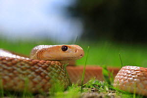 Coastal taipan snake (Oxyuranus scutellatus) male. Occurs in Australia and New Guinea. Captive.  -  Robert Valentic