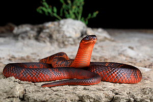 Collett's snake (Pseudechis colletti) male. Endemic to Black Soil Plains, Central Queensland, Australia. Captive.  -  Robert Valentic