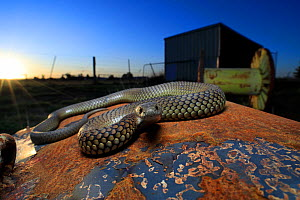 Lowland copperhead snake (Austrelaps superbus) male basking on rusty trailer, on farm at sunset. Melbourne, Victoria, Australia.  -  Robert Valentic