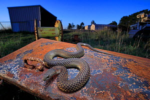 Lowland copperhead snake (Austrelaps superbus) male basking on rusty trailer, on farm in evening. Melbourne, Victoria, Australia.  -  Robert Valentic