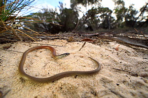 Marble-faced delma (Delma australis) basking on sand within mallee / heathland. Near Pinnaroo, Murray Mallee, South Australia.  -  Robert Valentic