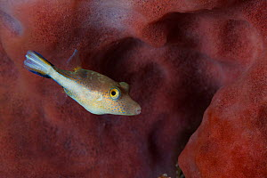 Caribbean sharpnose puffer (Canthigaster rostrata), Cozumel Island, Caribbean Sea, Mexico.  -  Claudio Contreras