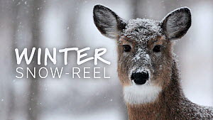 Showreel (or snowreel!) featuring wintery landscapes and animals adapting to cold weather around the world.  -  NaturePL Showreels