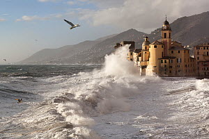 DELETE Yellow-legged gulls (Larus cachinnans) patrol the storm waves in search of food at Camogli village, Liguria, Italy. Composite image.  -  Angelo Gandolfi