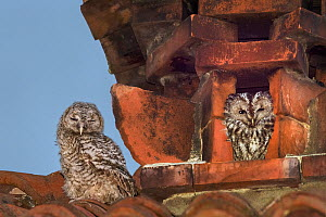 Tawny owls (Strix aluco) nesting inside a disused chimney. Adult on right, juvenile on the left. Ovada, Italy. April.  -  Angelo Gandolfi