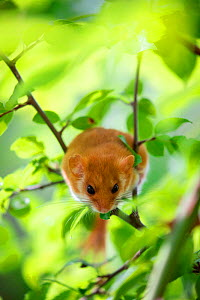 Hazel dormouse (Muscardinus avellanarius) sitting on branch in forest undergrowth. Abruzzo, Central Apennines, Italy. September.  -  Bruno D'Amicis