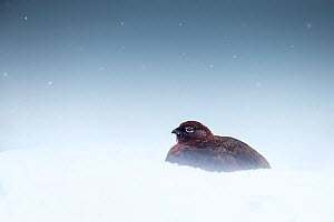 Red grouse (Lagopus lagopus scotica) in snowfall, Derbyshire, England, UK.  -  Ben Hall