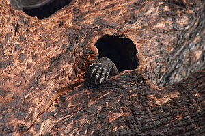 Lace monitor lizard (Varanus varius) foot showing through hole in burnt out tree where it is sheltering, Australia. May.  -  David Gallan