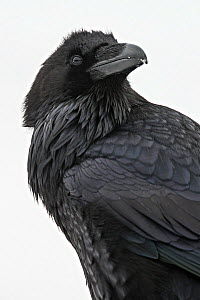 Raven (Corvus corax) portrait in the snow, Yellowstone National Park, Wyoming, USA. January.  -  Houdin and Palanque