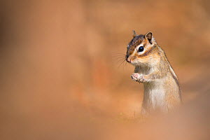 Siberian chipmunk (Eutamias sibiricus) living wild in forest near the city of Tilburg, the Netherlands, April.  -  Edwin Giesbers