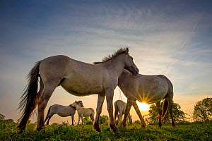 Konik horses (Equus ferus caballus) interacting at sunset, floodplain of the river Rijn, Meinerswijk near Arnhem, the Netherlands. May  -  Edwin Giesbers