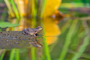 Green frog (Lithobates clamitans) at pond. Acadia National Park, Maine, USA. August.  -  George Sanker