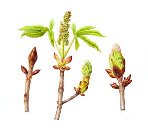 Horse-chestnut tree (Aesculus hippocastanum), sticky buds, in three stages of growth.Watercolour illustration.  -  Linda Pitkin